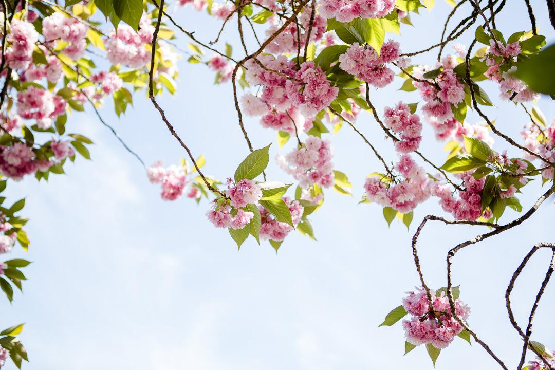 blossom and blue sky