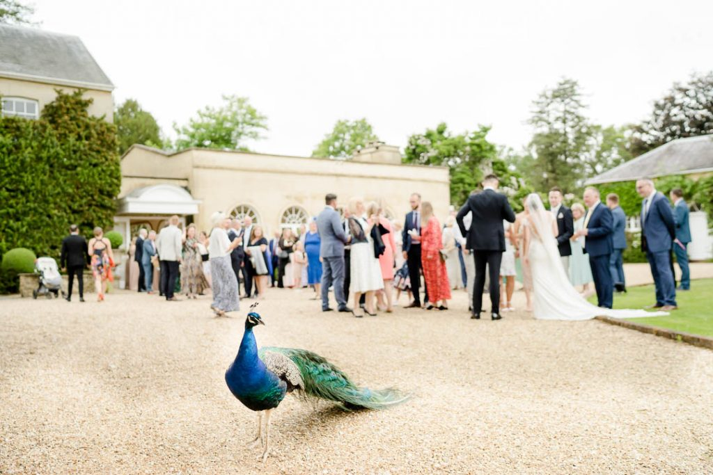 a peacock mingles with the guests outside Northbrook Park, wedding venue in Hampshire photo by Lydia Stamps Photography